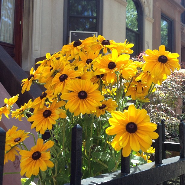 black eyed susans via gilbrimm03