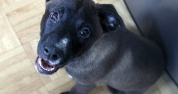 Leia puppy via Foster Dogs NYC